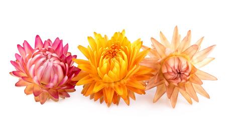 flores secas: Flores secas. Tres flores secas aislados en blanco.