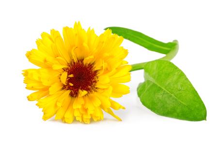 pot marigold: Calendula flower or common marigold flower Calendula officinalis isolated on white