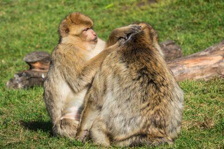 barbary: Barbary Macaque Monkey Grooming