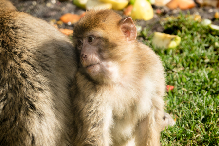 macaque: Barbary Macaque Young Monkey