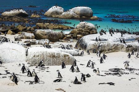 Pingüinos africanos en Boulders Beach, Ciudad del Cabo, Sudáfrica Foto de archivo - 72267964