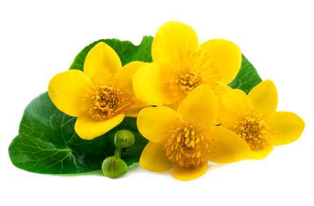 Marsh Marigold flowers (Caltha palustris) on white background