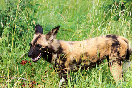 African wild dog or african painted dog(Lycaon pictus) - Kruger National Park - South Africa