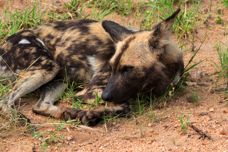 African wild dog or african painted dog, Kruger National Park, South Africa