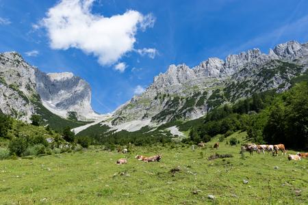 Idyllic mountain landscape with cows in the alps. Austria, Kaiser Mountains, Tyrol Stock Photo