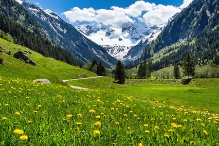 驚くほどの高山春の緑の牧草地の花と背景の雪に覆われたピーク夏の風景。オーストリア、チロル、まだ決定していない谷。