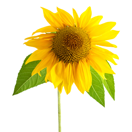 Sunflower Yellow Flower With Leaf Isolated On White  Background Stok Fotoğraf
