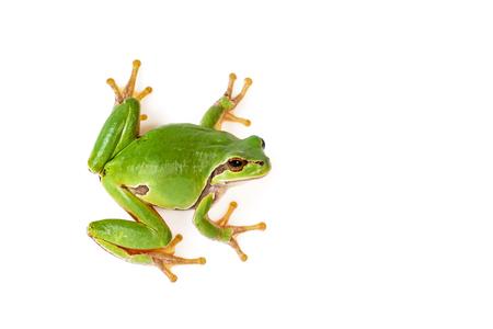 Grüner Laubfrosch klettert auf weiße Nahaufnahme Hyla arborea Standard-Bild