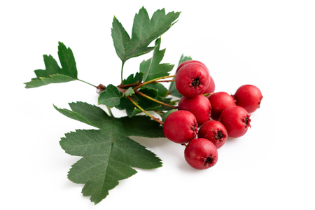 Hawthorn red berries with leaf isolated on white background