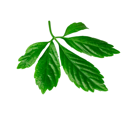 jiaogulan leaf or immortality herb isolated with clipping path Standard-Bild