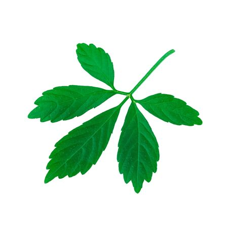Miracle Grass or Jiaogulan Leaf or Southern ginseng or Gynostemma pentaphyllum or Five Leaves Ginseng or Herb of Immortality Isolated on White Standard-Bild