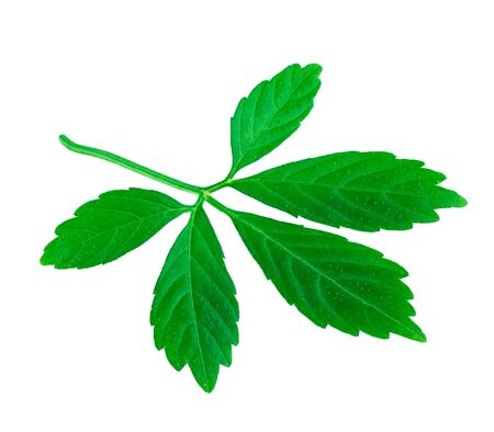 Leaf of Jiaogulan or Five Leaves Ginseng or Miracle Grass or Southern ginseng or Herb of Immortality  Isolated on White. (Gynostemma pentaphyllum)