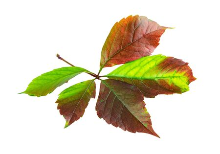 Fall leaf of Virgin ivy or Virginia creeper autumn color on white background Stock Photo