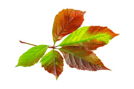 Autumn fall leaf of virgin ivy or virginia creeper isolated on white