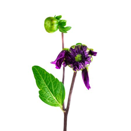 Dahlia flower from bud to bloom. Purple dahlia bud with stem isolated on white