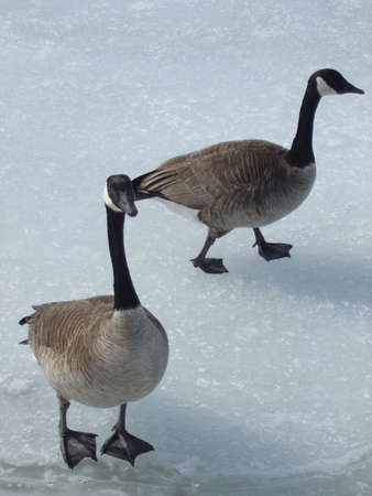 Canada Geese walking on ice Stock Photo - 2923677