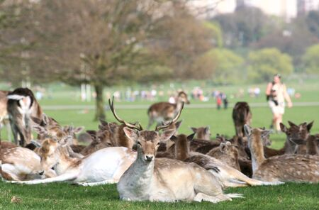 Richmond park is famous for more than six hundred red amd fallow deer and it is the largest park of the royal parks in London and almost three times bigger than New York's Central Park.  Stock Photo - 10007805