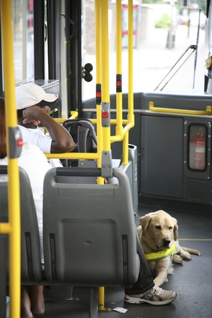public transport: London, UK - August 09, 2010: A guide dog accompanied by owner seating on a local bus.