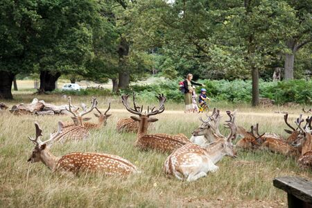 London, UK - August 03, 2010: Group of deer and pregnant mother and kids walking pass in the back ground. Richmond park is famous for more than six hundred red amd fallow deer and it is the largest park of the royal parks in London and almost three times  Stock Photo - 10605266