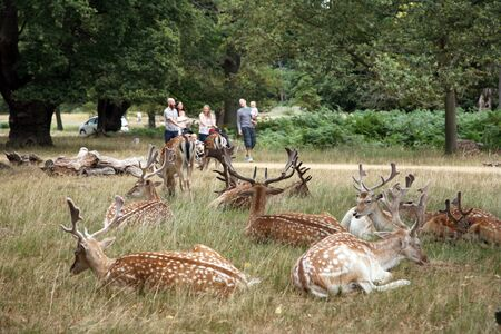London, UK - August 03, 2010: Group of deer and group of family walking pass in the back ground. Richmond park is famous for more than six hundred red amd fallow deer and it is the largest park of the royal parks in London and almost three times bigger th Stock Photo - 10605268