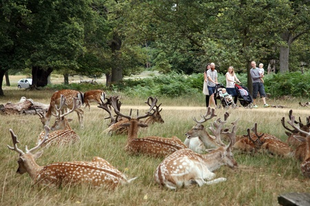 London, UK - August 03, 2010: Group of deer and group of family walking pass in the back ground. Richmond park is famous for more than six hundred red amd fallow deer and it is the largest park of the royal parks in London and almost three times bigger th