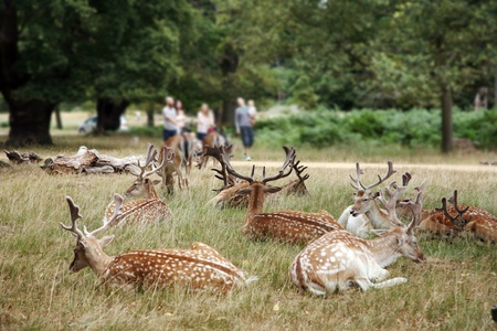 London, UK - August 03, 2010: Group of deer and group of family walking pass in the back ground. Richmond park is famous for more than six hundred red amd fallow deer and it is the largest park of the royal parks in London and almost three times bigger th Stock Photo - 10623006