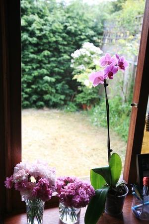 windowsill: Pink Orchid in pot at windowsill        Stock Photo