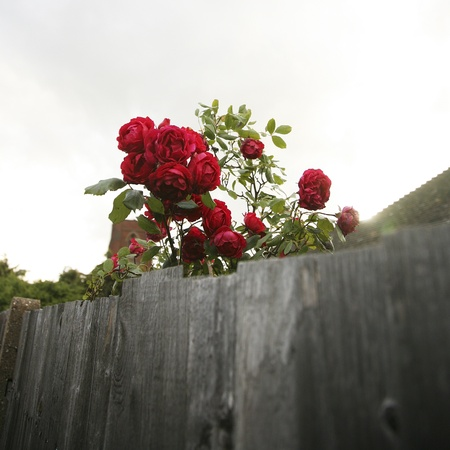 Beautiful red rose, close up, over a wooden fence    photo