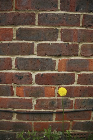 shrinking: Yellow dandelion flower, isolated, against wall.