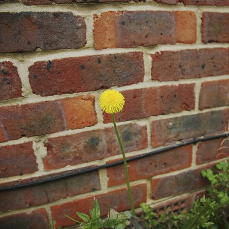 Yellow dandelion flower, isolated, against wall.  photo