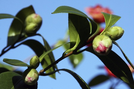 unspecified: Flower buds of an unspecified camellia     Stock Photo