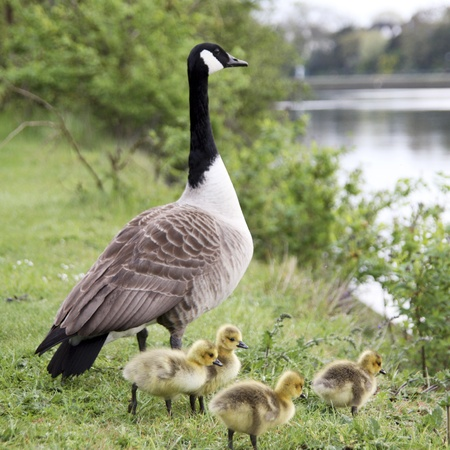 A family of Geese, near River Thames, enjoying a tender morning  River is out of focus in background and there are some copy space  photo