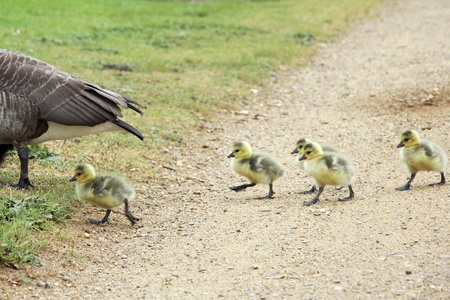 gosling: Mother goose leads the way and baby gosling follow closely behind her  Stock Photo