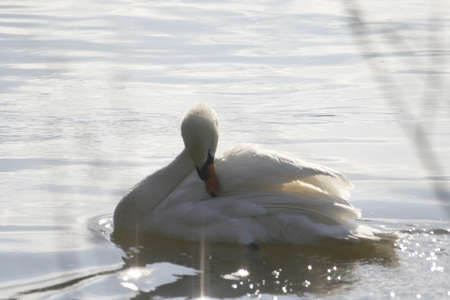 Graceful swan in Thames River     photo