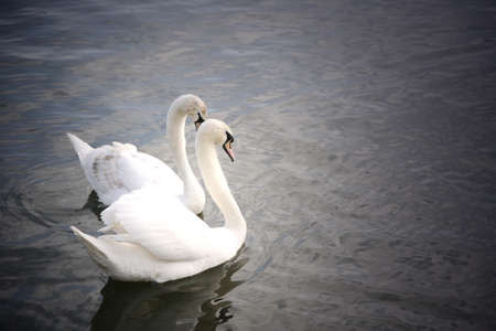 Graceful swan in Thames River, around Kingston     photo