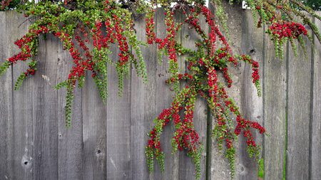 against: Rowan Berries against wooden wall Stock Photo