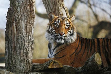 Sumatran Tiger sitting on a tree