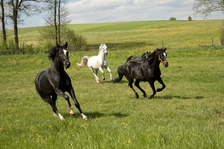 Horses galloping in the paddock