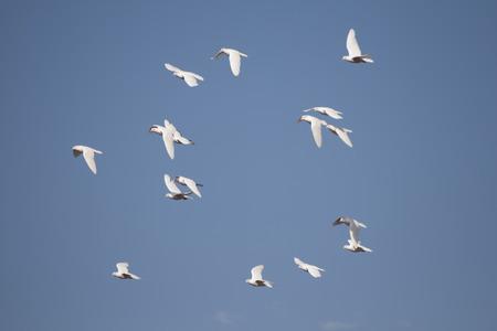 White Pigeons Flying Stock Photo