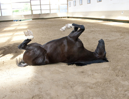 Horse rolling on back