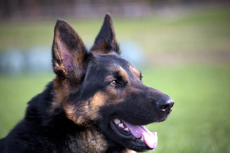 shepperd: German Shepherd Portrait