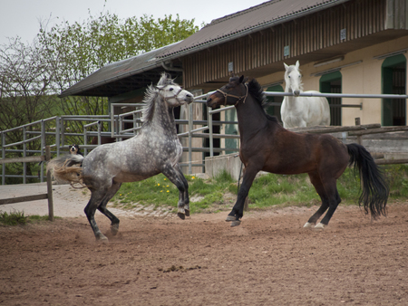 rearing: Fighting, rearing horses