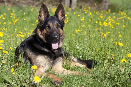 Happy German Shepherd Dog