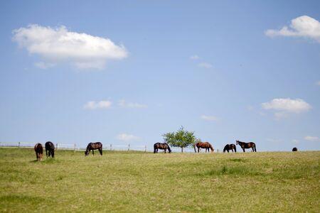 paddock: Horses grazing free on paddock