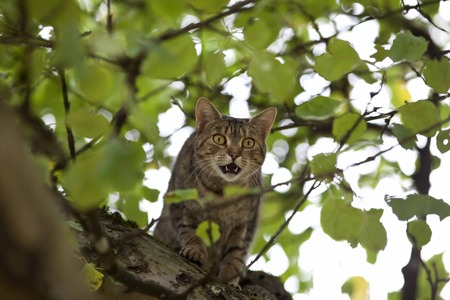 pet cat: cat high up in tree hunting Stock Photo