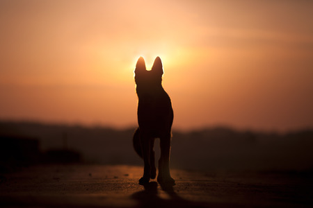 dode bladeren: Hond backlight silhouet in zonsondergang Stockfoto