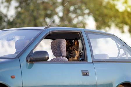 Dog in hot car in summer