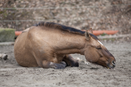 lay down: Horse with colic lay down and sleep outside