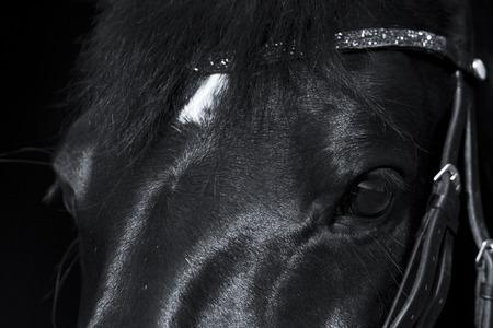rhinestone: Black horse close up with beautiful rhinestone browband