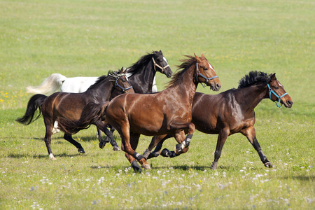 Herd of beautiful horses gallop on pasture
